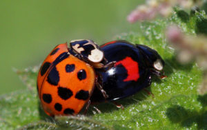 The harlequin ladybird is widely considered to be one of the world's most invasive insects. Photo: Charles J Sharp - Sharp Photography | CC BY-SA 4.0
