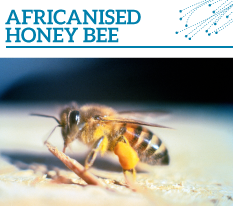 Invasion Watch Profile: Africanised honey bee