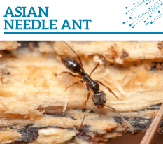 Invasion Watch Profile: Asian needle ant