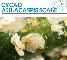 Invasion Watch Profile: Cyclad aulacaspis scale