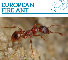 Invasion Watch Profile: European fire ant
