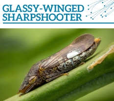 Invasion Watch Profile: Glassy-winged sharpshooter