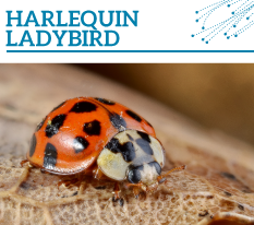 Invasion Watch Profile: Harlequin ladybird