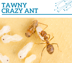 Invasion Watch Profile: Tawny crazy ant