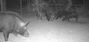 Feral pigs caught in a trap in Victoria's far northwest.