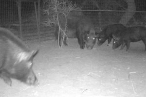 Feral pigs caught in a trap in Victoria's far northwest.