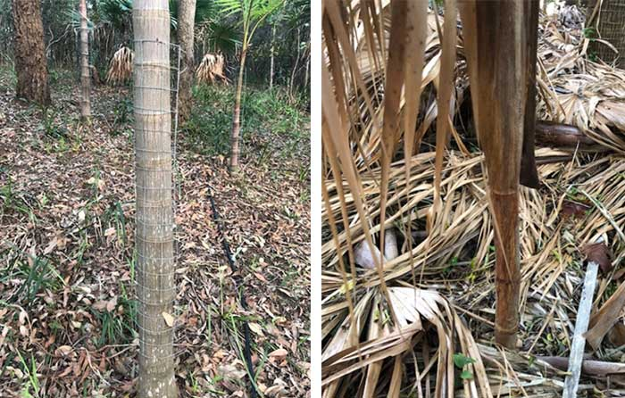 All Bangalow palms the size of the image on the right or under now have to be protected by flower wire or being tied with sticks. The image on the right shows a Bangalow palm rubbed by deer, death seems the result of the roots being snapped.