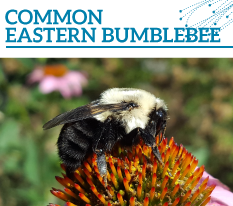 Invasion Watch Profile: Common eastern bumblebee