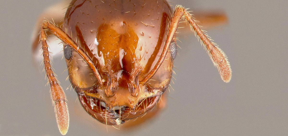 Head of a red fire ant. Image www.antweb.org
