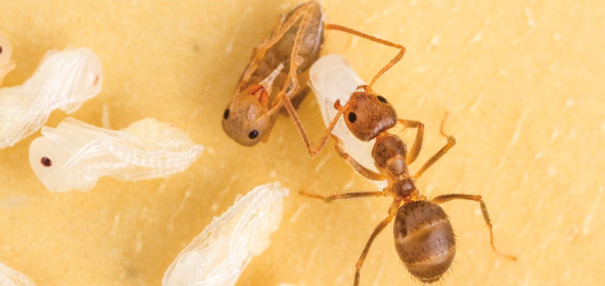 Tawny crazy ant - Image Photo: Alex Wild and Ed Le Brun