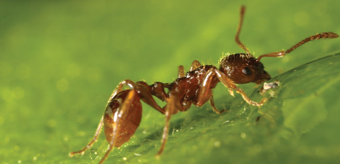 European fire ant - photo Kjetil Fjellheim