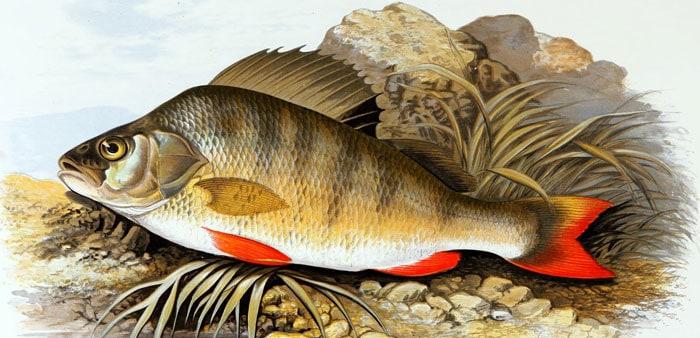 Redfin perch, Alexander Francis Lydon (1836-1917). Public domain.