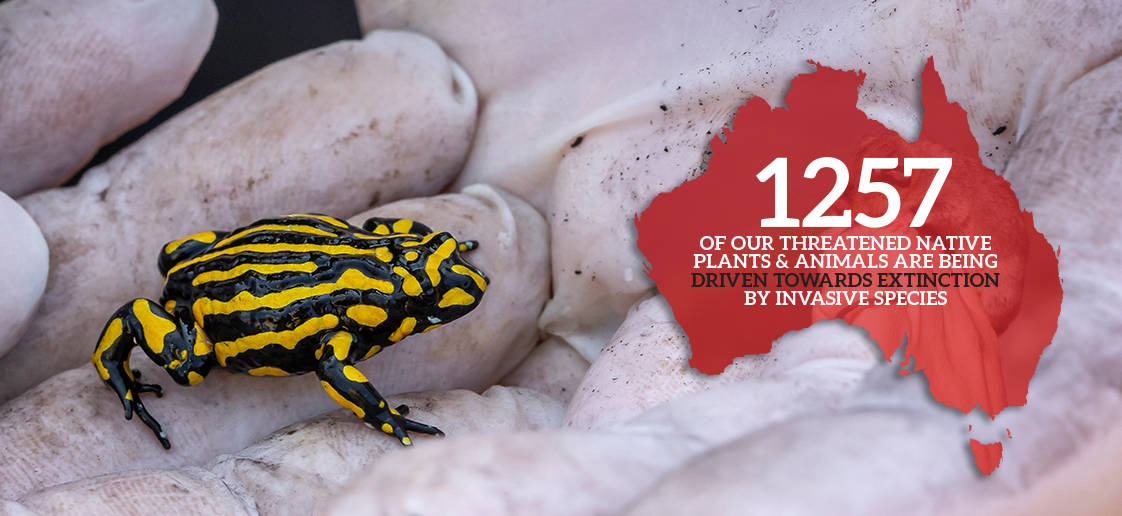 The corroboree frog is just one of more than 1200 Australian species being driven towards extinction by invasive species.