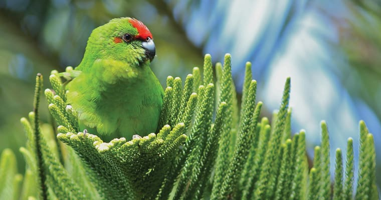 Critically endangered Norfolk Island green parrot. Photo: Luis Ortiz-Catedral