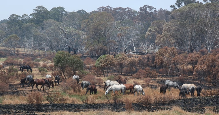 Feral horses grazing on what little vegetation remains in Kosciuszko National Park after the 2020 summer bushfires.