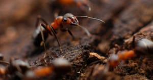Fire ants. Photo: Mikhail Vasilyev | Unsplash