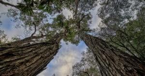 Jarrah forest in Western Australia. Photo: Terri Sharp   Pixabay