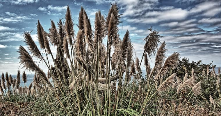 Pampas grass. Photo: Kirt-Edblom | CC BY-NC-ND 2.0