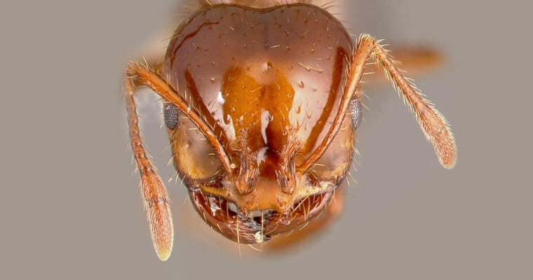 Red imported fire ant (Solenopsis invicta). Photo: www.antweb.org - CC BY-SA 3.0