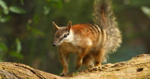 The numbat is listed as endangered and under threat from foxes and cats. Photo: Seashalia Gibb | Pixabay