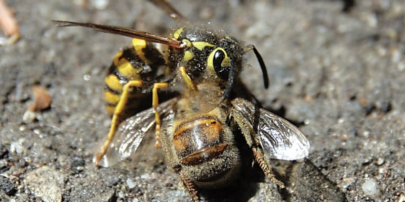 Western yellowjackets, invasive in Hawaii, are aggressive hunters. Photo: TJ Gehling | Flickr CC BY-NC-ND 2.0