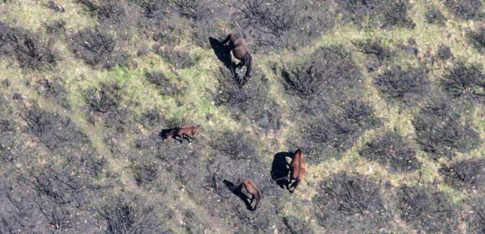 Feral horses damaging native vegetation in the Alpine National Park. Photo: Copyright Parks Victoria