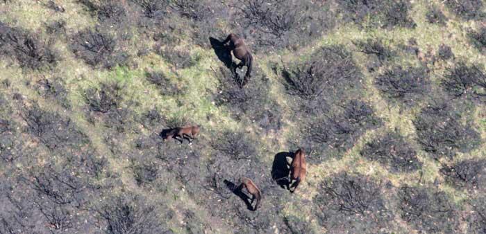 Feral horses damaging native vegetation in the Alpine National Park. Photo: Copyright Parks Victoria
