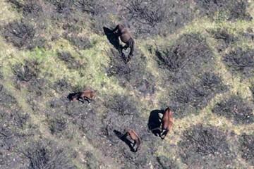 Victorain Alps Feral Horses