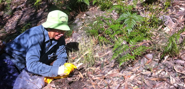 Bush regeneration volunteer Lesley Sammon weeding out a crop of oats that have sprung up in nearby bushland