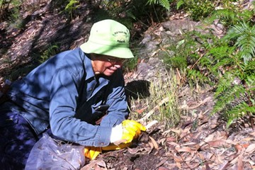 Bush regeneration volunteer Lesley Sammon weeding out a crop of oats that have sprung up in nearby bushland.