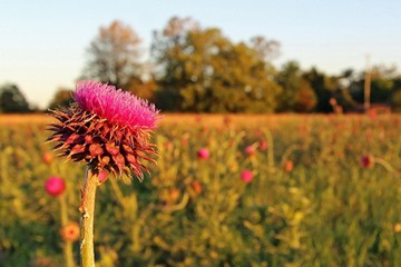 Spear thistle. Photo: Judith Gray