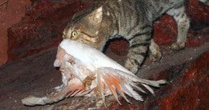 Feral Cat preying on Galah. Photo: Mark Marathon   CC BY-SA 4.0