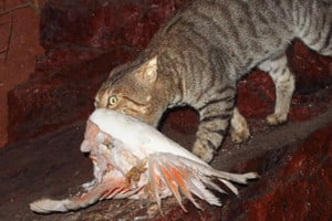 Feral cat with Major Mitchell cockatoo in its mouth. Photo: Mark Marathon | CC BY-SA 4.0