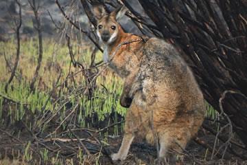 bushfire survivor