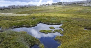 Alpine bogs in Victoria and NSW are a haven for threatened wildlife but will struggle to recover after the 2019-20 bushfires if pressure from feral animals is not contained. Photo: Karen Alexander