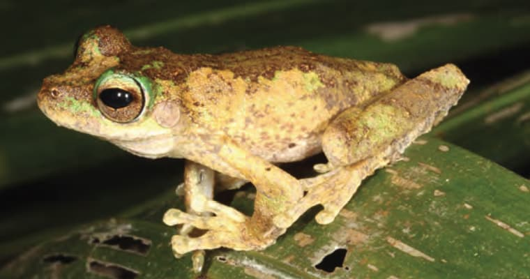 The biggest impact of yellow crazy ants on vertebrates is likely to be much less insect prey. Frog metamorphs, young birds and other small animals will be at risk from direct attack by the ants. The endangered Kuranda treefrog (Litoria myola), shown above, is at imminent risk as yellow crazy ants have invaded one of its few breeding sites. Photo: Conrad Hoskin