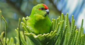 Critically endangered Norfolk Island green parrot. Photo: Luis Ortiz-Catedral