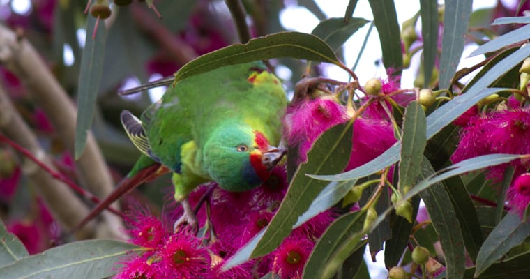 Swift parrots are listed as critically endangered in Australia. Threats include loss of habitat, predation by cats and changes in habitat due to climate change. Photo: Judith Deland | Flickr | CC BY-NC-SA 2.0