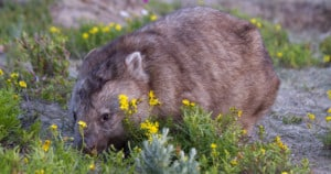 Wombat foraging at Wilsons Promontory National Park. Photo: Judith Deland