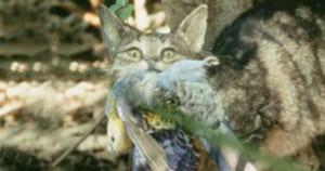 A cat makes off with its prey, a rosella. Photo: Brisbane City Council | CC2.0