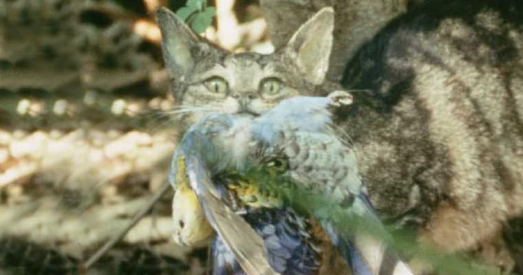 A cat makes off with its prey, a rosella. Photo: Brisbane City Council | CC2.0