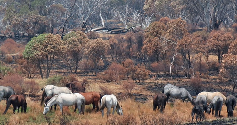 A mob of feral horses grazing on bushfire regrowth at the southern end of Long Plain where fire intensity was low. More than three quarters of Long Plain was unaffected by the summer bushfires. Photo: L Groom