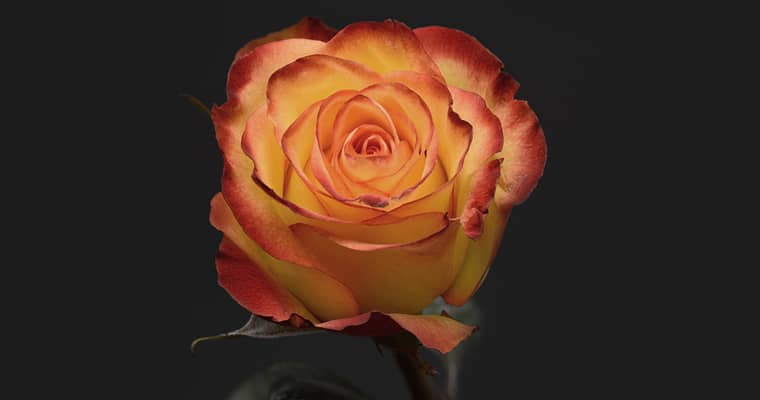 Imported roses pose very high risks to Australia because the layered petals provide many hiding places for invasive insects. Photo: anncapictures | Pixabay