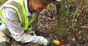 Applying glyphosate to a drilled hole in the trunk of a holly tree, a woody weed that is impractical to control without use of herbicides.