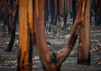 A kangaroo and her joey who survived the forest fires in Mallacoota. Australia
