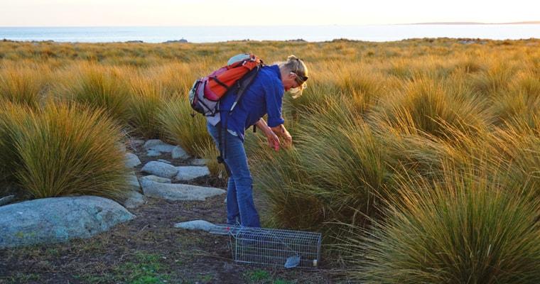 Big Green Island rat eradication project off Flinders Island, northeast Tasmania. Photo: John French