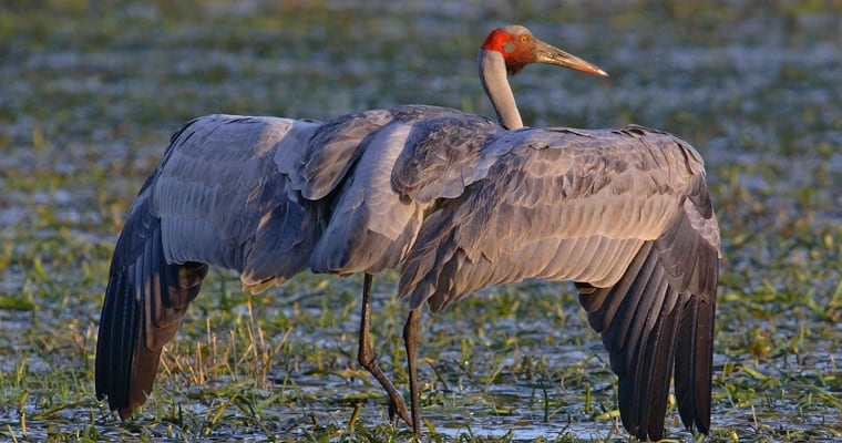 Brolga. Photo: Chris Tzaros