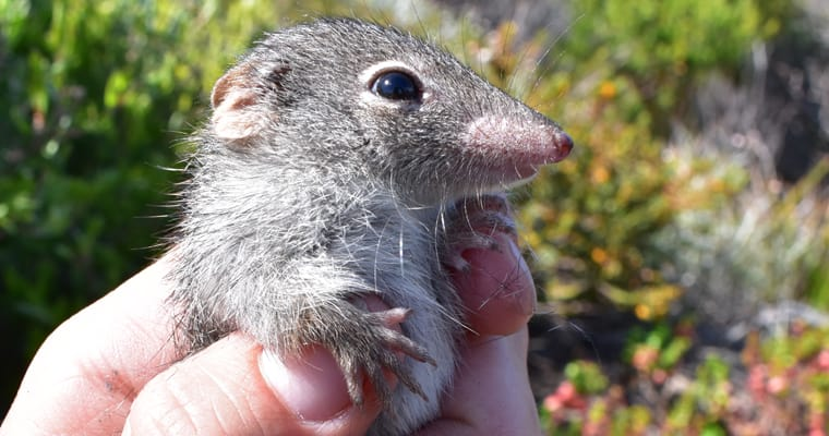 Dibblers are one of the many native mammals that will benefit from the eradication of feral cats from Dirk Hartog Island in Western Australia. Photo: Emma Massembauer, DBCA