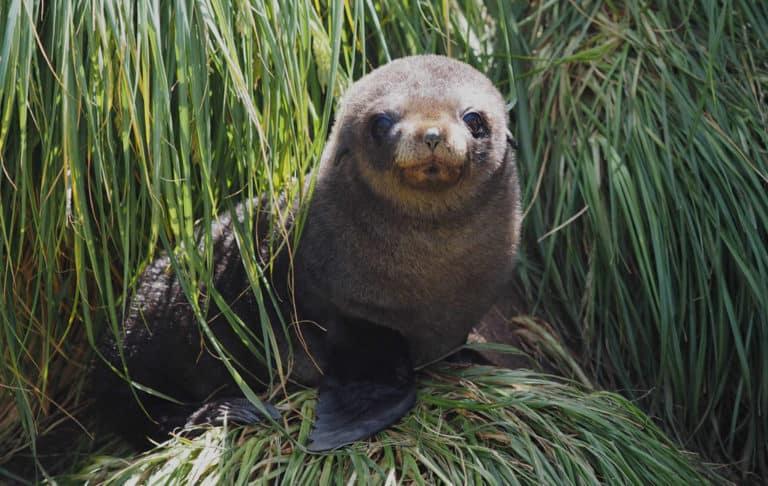 Antarctic fur seal pup. Photo: Andrea Turbett