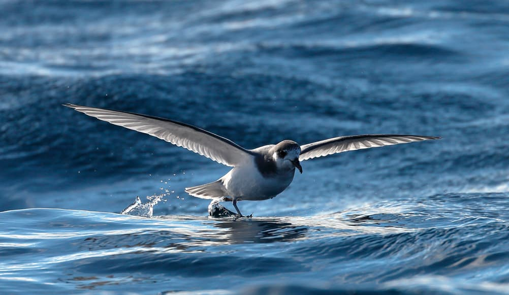 Blue petrel. Photo: Ed Dunens - Creative Commons Licence 2.0